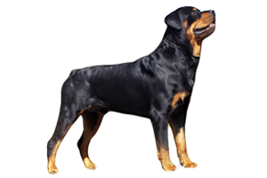 Rottweiler-Features