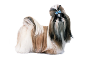 What Kind Of Dogs Make A Shih Tzus